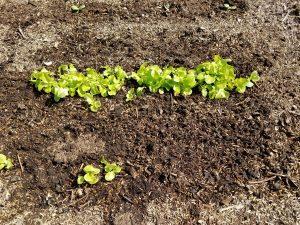 Picture of lettuce growing in garden