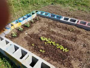 Picture of lettuce and peas growing in garden